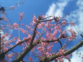 寒桜と寒椿